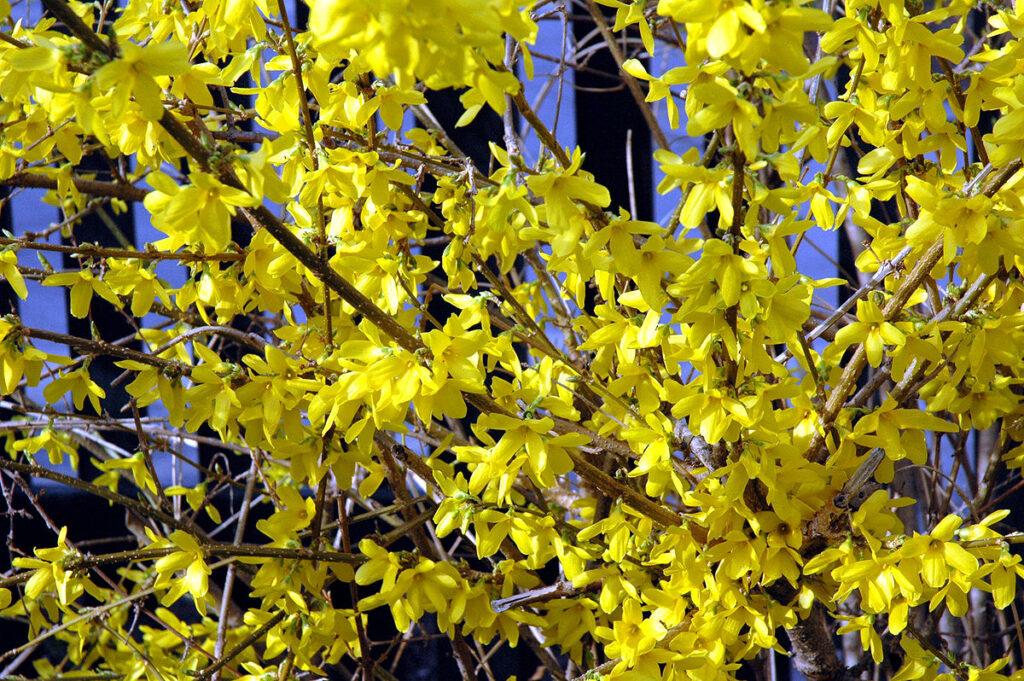 Forsythia printemps